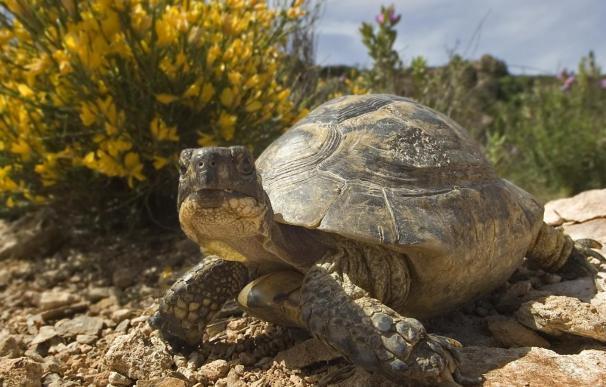 Recuperadas 45 tortugas mora en Mojácar y Olula del Río, en Almería